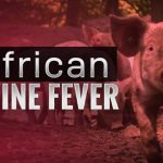African Swine Fever - Photo Swineweb.com