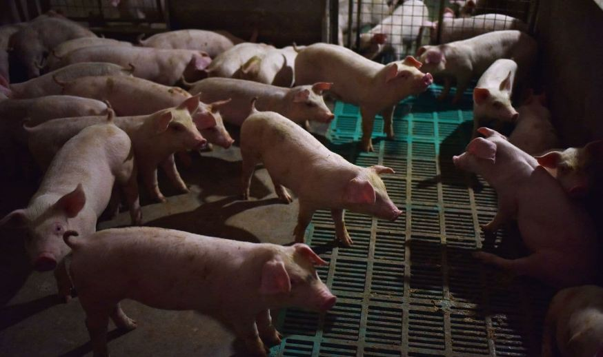 At leaast 50 pigs killed by swine fever - Photo CGTN