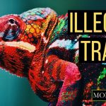 Illegal Trade of Chameleons - Photo Mongabay