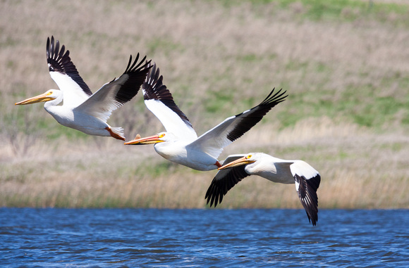 Pelicans Fish Eaters - Stoney Lonsome Photos