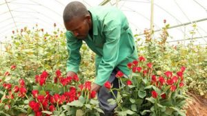 Roses from Rwanda - Photo The New Times