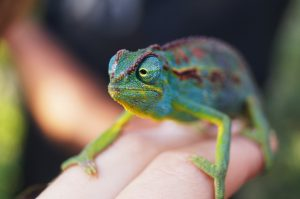 Smuggler Arrested in Vienna with Chameleons - Photo Getaway Magazine