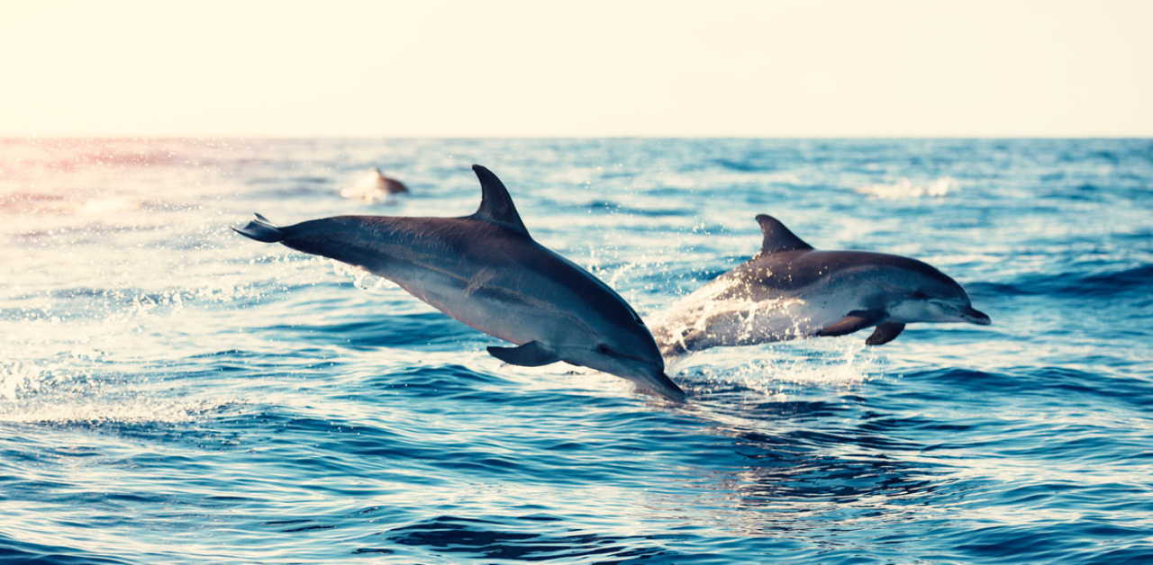 Dolphins Play in Mozambique's Coastal Waters - Photo Deccan Herald