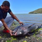 One of 40 Dolphins Founded Dead on Coast of Mauritius - Photo News Central