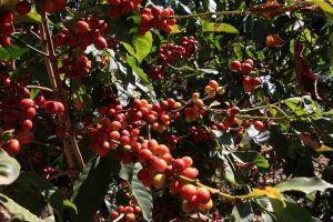 Coffee, One of Ethiopia's Best Known Exports - Photo Global Construction Review