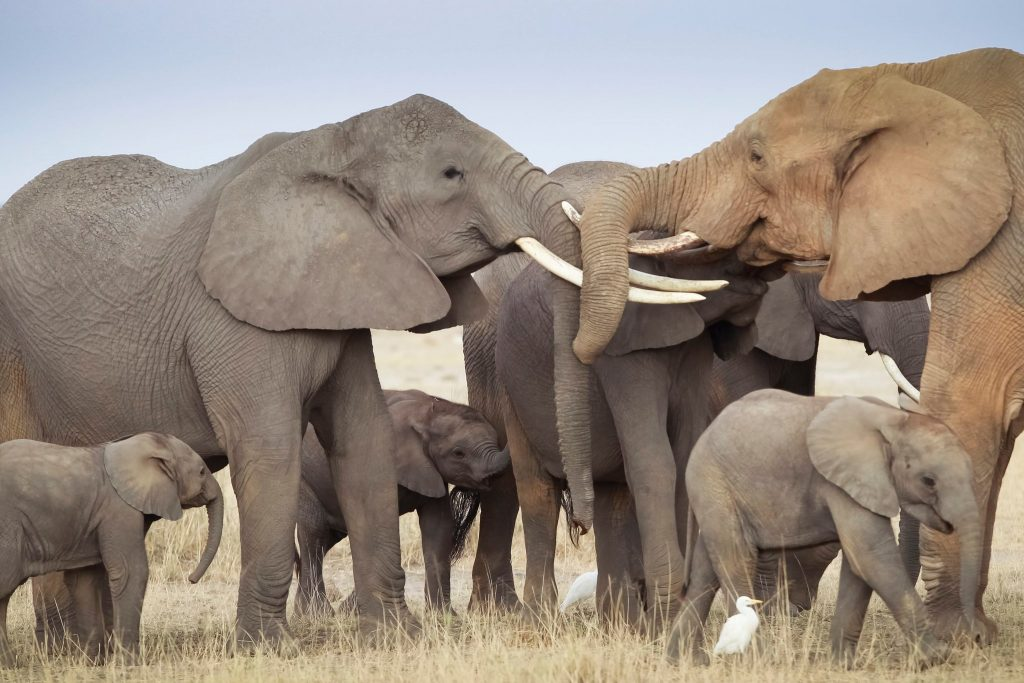 Elephants Get to the Point of Pointing - Photo The New York Times
