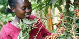 Kenyan Lady Picking Coffee Beans - Photo Business Daily